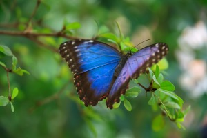 blue_morpho_butterfly_189907