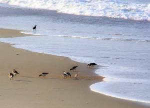 plovers_obx-birds